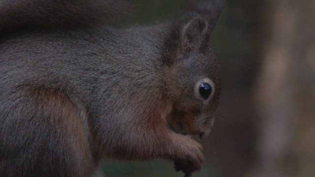 Red squirrel feeding in Scottish woodland 4K footage shot at 50fps and interpreted at 25fps to give slower motion dumfries and galloway stock videos & royalty-free footage
