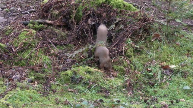 Red squirrel frantically looking for food on the ground in an open area of Scottish woodland video