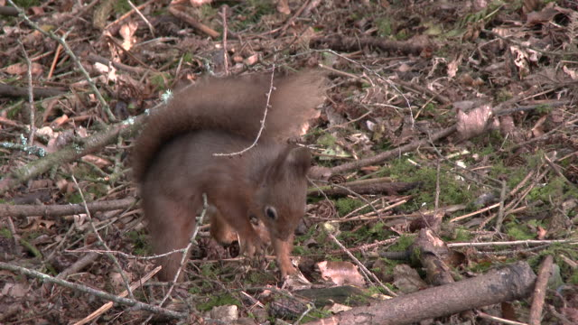 Red squirrel hiding food in Scottish woodland before running away video