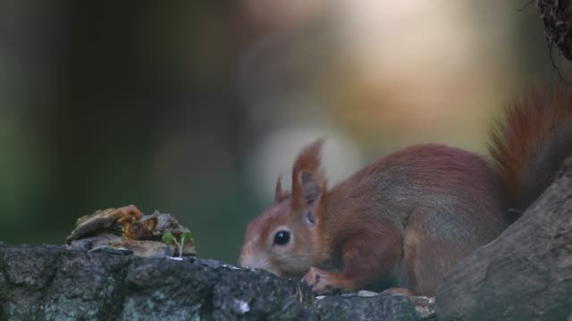 Red squirrel in the forest on the ground Red squirrel (Sciurus vulgaris) in the forest on the ground. Looking for food and eating. Close-up portrait. animal whisker stock videos & royalty-free footage