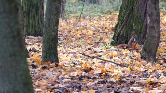 Red squirrel is looking for something in the dry fallen leaves of the autumn forest (Sciurus vulgaris) video