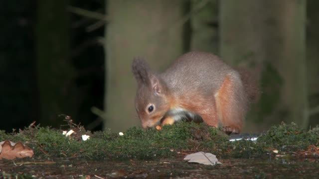 kızıl sincap i̇skoç woodland gıda arıyorsunuz - kemirgen stok videoları ve detay görüntü çekimi