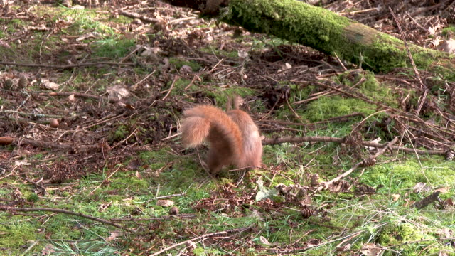 Red squirrel looking for food on the ground in an open area of Scottish woodland video