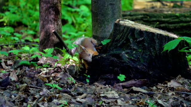 A red squirrel moves through the park. Squirrel is looking for food. She checks the feeders, and also looks for food on the ground and trees. Sometimes people feed the protein with seeds or nuts. video
