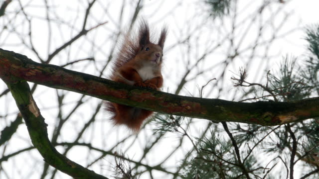 Red Squirrel on tree forest 4k video