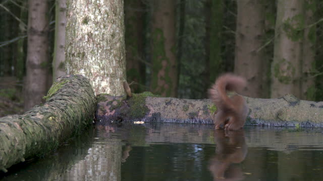 Red squirrel searching for food in a pool of standing water video