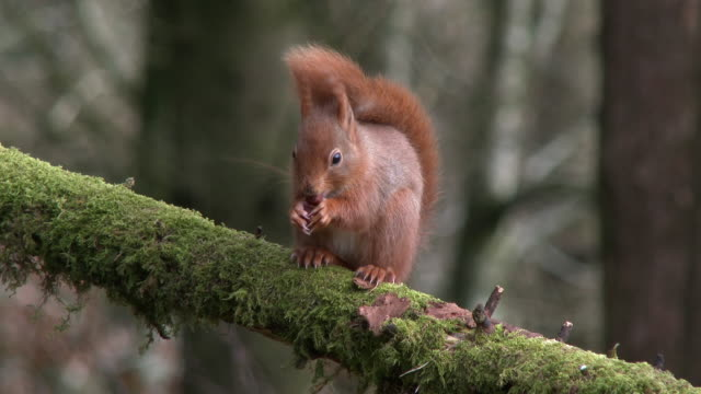 Red squirrel sitting on a branch covered in moss eating a hazelnut in Scottish woodland