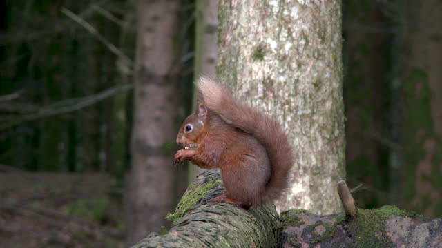 Red squirrel sitting on a log eating a hazelnut in Scottish woodland video