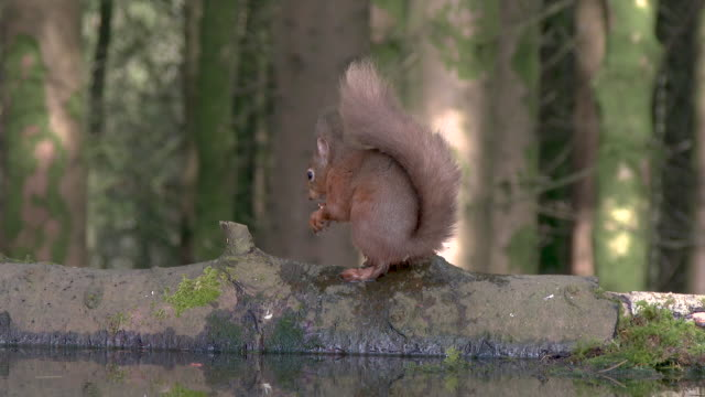 Red squirrel sitting on a log eating a hazelnut next to a pool of standing water video