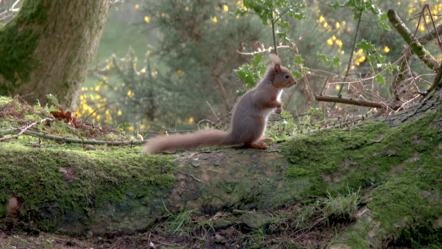 Red squirrel standing on the root of a tree before running away in Scottish woodland video