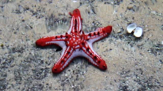 Red Starfish. video