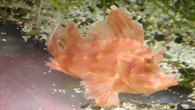 Red Stone fish in relaxation. video