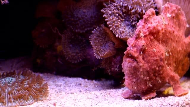 red steinfisch - ichthyologie stock-videos und b-roll-filmmaterial