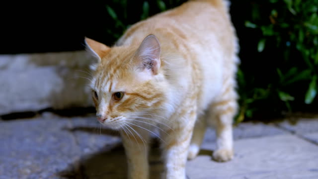 Red Stray Egyptian Cat on a Street at Night