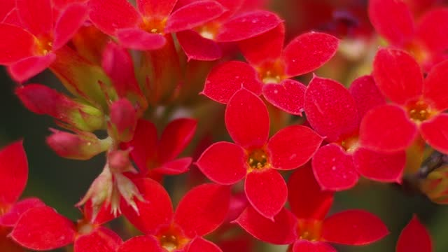 Red Succulent flower