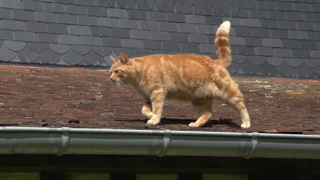 赤虎猫国内猫が屋根、ノルマンディー、リアルタイムで歩いています。 - 屋根点の映像素材/bロール