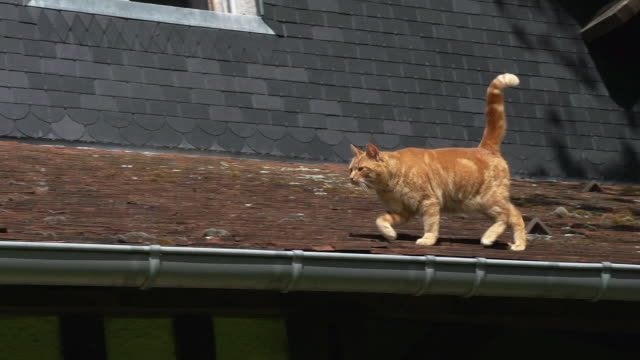 red tabby domestic cat walking on roof, normandy, real time - felino video stock e b–roll