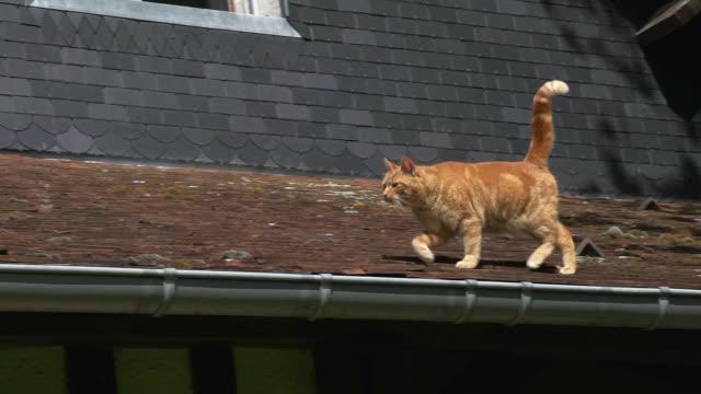 赤虎猫国内猫が屋根、ノルマンディー、リアルタイムで歩いています。 - ネコ科点の映像素材/bロール