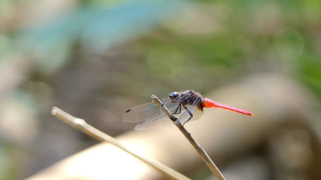 Red tail Dragonfly. video