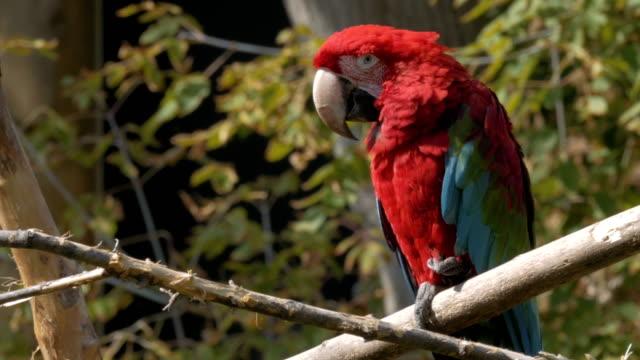 赤後につかれたコンゴウインコの枝に腰掛け。 - 動物園点の映像素材/bロール