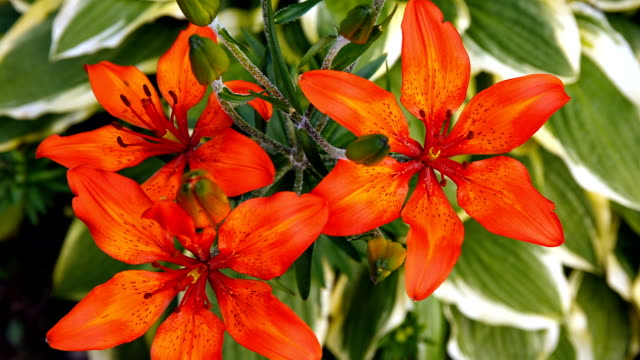 Red tiger Lily blooms in the garden.