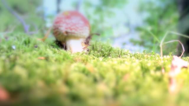 Red toadstol magic mushroom tilt up shot video