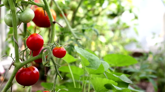 Red tomato in hothouse video
