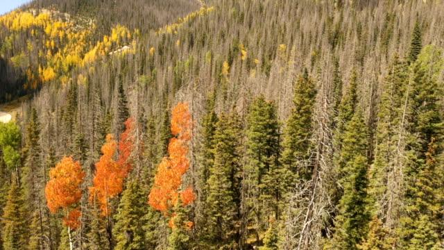 vídeos de stock, filmes e b-roll de árvores vermelhas entre pinhos em colorado por zangão - condado de pitkin