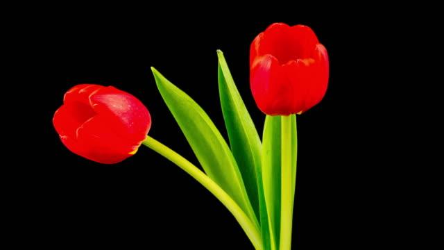 赤いチューリップの花が咲き乱れる(4 k uhd - チューリップ点の映像素材/bロール