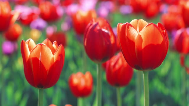 Red tulip buds on flowering field at spring. Close up red tulip on flower bed Red tulip buds on flowering field at spring. Close up red tulip on flower bed in summer park. Blooming tulips on summer lawn tulip stock videos & royalty-free footage