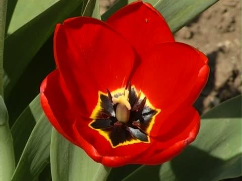 tulipano rosso-primo piano - stame video stock e b–roll