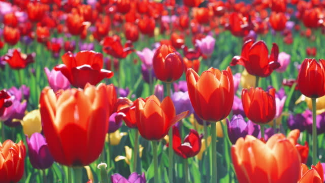 Red tulip flowering on flower bed. Close up colorful tulip flower bed in garden Red tulip flowering on flower bed. Close up colorful tulip flower bed in garden tulip stock videos & royalty-free footage