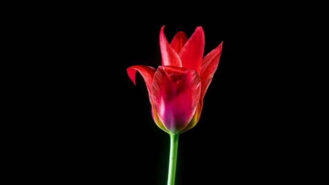 red tulip on black background timelaspe of red tulip opening on black background tulip stock videos & royalty-free footage