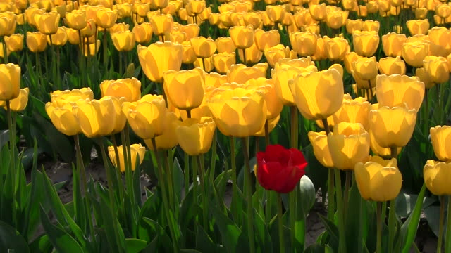 Red Tulip video