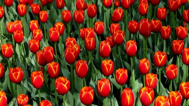 red tulip video