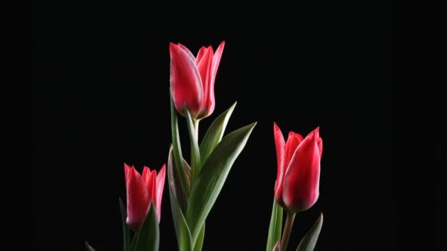 赤いチューリップ花 - チューリップ点の映像素材/bロール