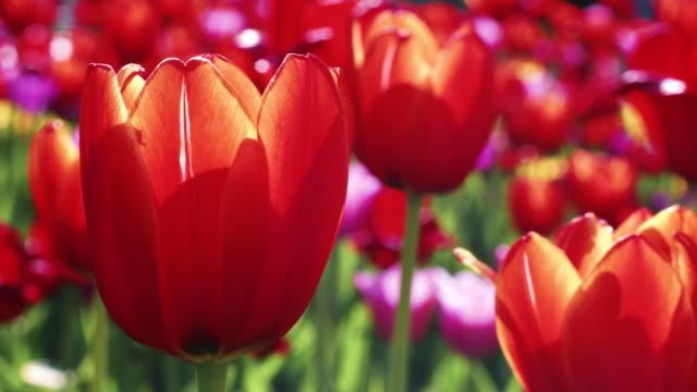 花壇に赤いチューリップがつぼみ。春の庭に咲く赤いチューリップをクローズアップ - チューリップ点の映像素材/bロール