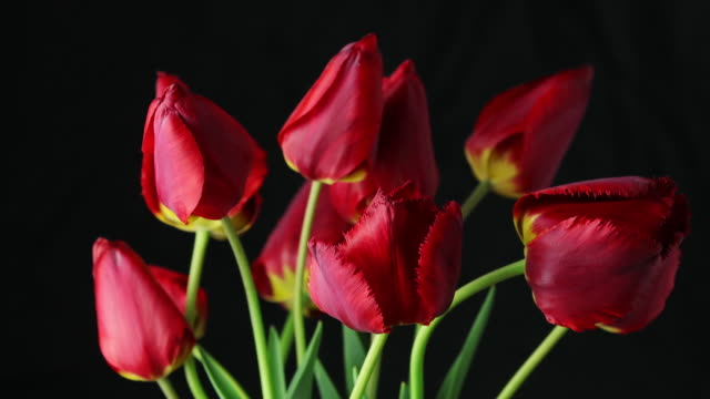 Red tulips flowers blooming timelapse. Timelapse of red tulip flower blooming on black background fully opening petals. video