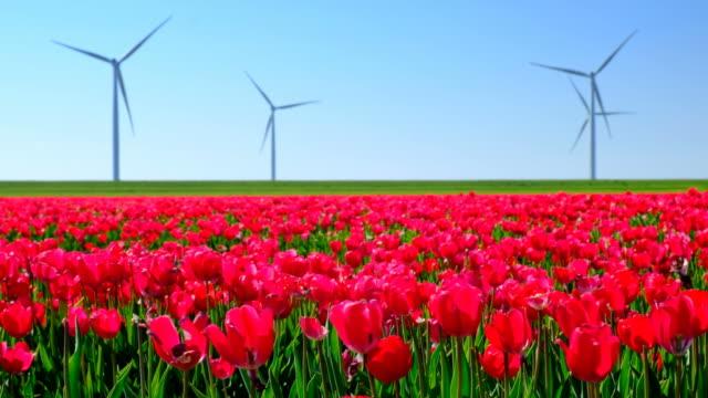 röda tulpaner på ett område med vindkraftverk i bakgrunden under en vacker vårdag - tulpan bildbanksvideor och videomaterial från bakom kulisserna