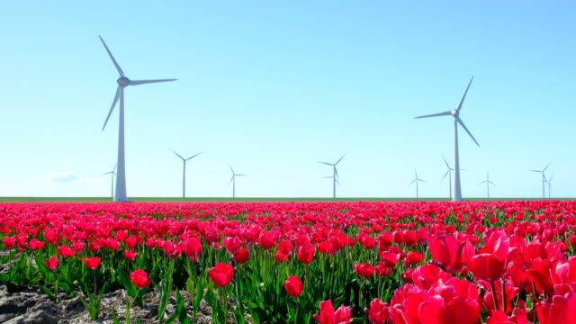 Red tulips in a field with wind turbines in the background during a beautiful spring day