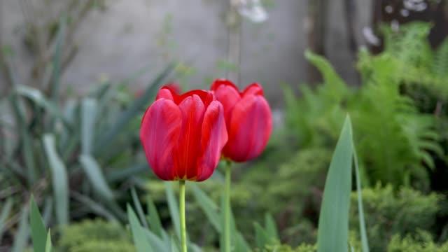 vídeos de stock, filmes e b-roll de tulipas vermelhas no jardim ao vento. - flor temperada