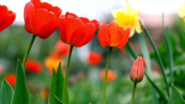 Red tulips in the garden. Sliding camera