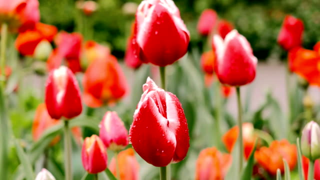 Red tulips in the rain Red tulips in the rain tulip stock videos & royalty-free footage