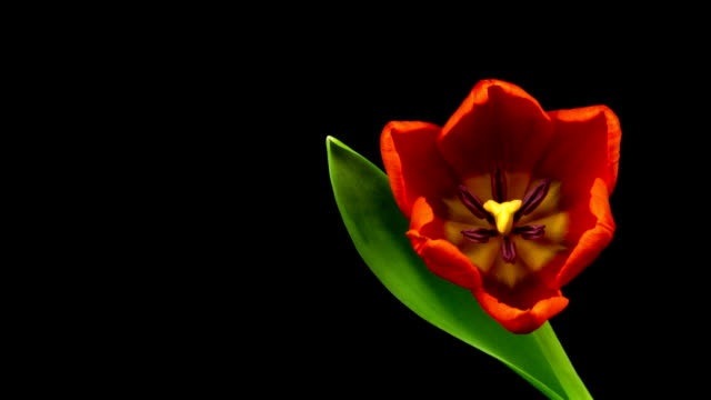 Red Tulips Time Lapse Three time lapse clips of blossoming flower with black background tulip stock videos & royalty-free footage