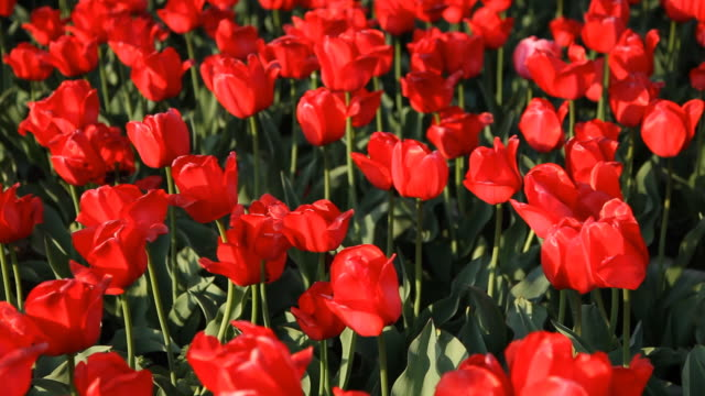 Red Tulips video