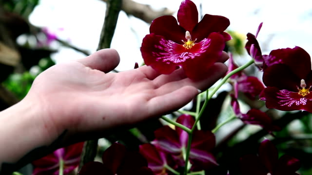 HD CLOSE UP: Red velvet orchid video