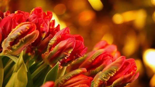 Red Velvet Tulip studio quality footage video