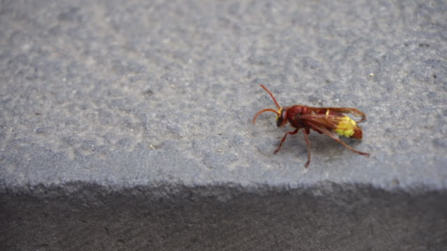 Red Wasp Isolated on a Stone Wall video