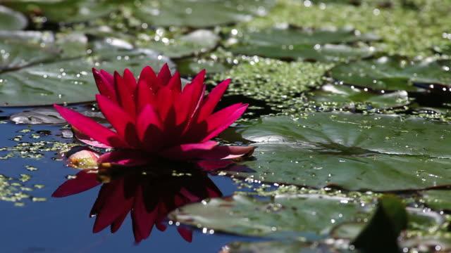 Red Water-Lilie (Endlos wiederholbar – Video