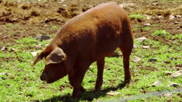 Red Wattle pig video